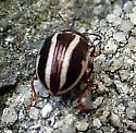 Oct Beetle - Calligrapha bidenticola