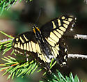 Anise Swallowtail -  - Papilio zelicaon