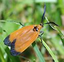 Neoalbertia constans, live female dorsal - Neoalbertia constans - female