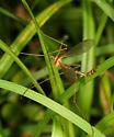 Crane Fly - Pedicia autumnalis