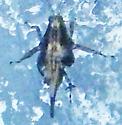 Tetrigidae (Pygmy Grasshopper)