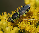Soldier Fly - Hedriodiscus varipes - female