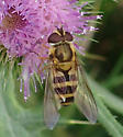 Syrphidae spp. in Northeast - Epistrophe grossulariae