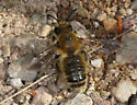 Mt Lemmon bee c - Megachile