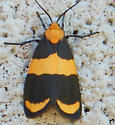 orange and black moth - Eudesmia arida