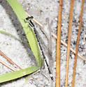 Female Seepage Dancer - Argia bipunctulata - female