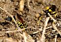 Black and Yellow Mud Dauber with a yellow waste - Sceliphron caementarium