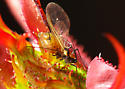 Aphid on Rosebud - Macrosiphum rosae