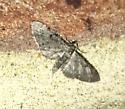 Brownish Gray Moth - Eupithecia