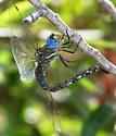 Blue-eyed Darner - Rhionaeschna multicolor - female