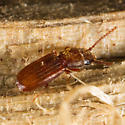 Unknown Beetle - Cryptolestes