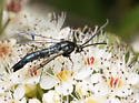 Blue-black bug with long wings - Synanthedon pictipes