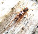 Spider - Pachygnatha autumnalis