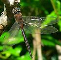 Slender Baskettail - Epitheca costalis - male