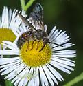 A 2 Fer (Wasp & Spider) - Scolia nobilitata