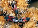 Lygaeid long and short-wings bugs - Melanopleurus belfragei - male - female