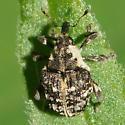 Unknown Weevil - Dietzella zimmermanni
