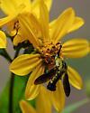 Bee Fly? - Lepidophora lutea