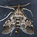Moth for ID ??? - Duponchelia fovealis - male