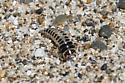 Insect larva - Thinopinus pictus
