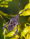 Heteroptera nymph - Merocoris