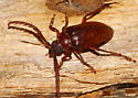 Large Mandibles - Prionus pocularis - male