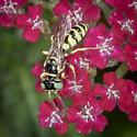 Sand wasp, maybe Bembix? - Philanthus multimaculatus - female