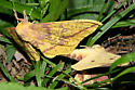 Saturniidae, Imperials, Yes! - Eacles imperialis - male - female