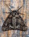 Gabriola dyari Moth - Gabriola dyari - male