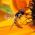 Syrphid Fly - Allograpta obliqua - female
