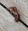 Huge Ant in Georgia - Solenopsis invicta