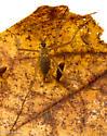Chionea scita - female