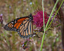 Georgia May Monarch - Danaus plexippus