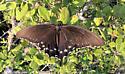 Swallowtail - Battus philenor