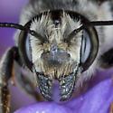 Leafcutter Bee - Megachile addenda - female