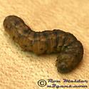 Caterpillar 02 - Euxoa tessellata
