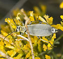 Grey Blister Beetle - Epicauta caviceps