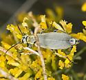 Grey Blister Beetle - Epicauta caviceps