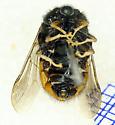 Small Headed Fly - Pterodontia misella - female