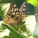 Hackberry Emperor - Right Lateral - Asterocampa celtis - male