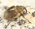 small weevil - Ceutorhynchus