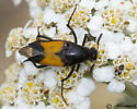 Beetle on Yarrow - Macrosiagon