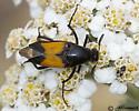 Beetle on Yarrow - Macrosiagon
