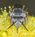 Maybe a Cuckoo Bee? - Coelioxys - female