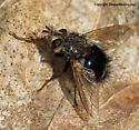 Tachinid Fly - Epalpus signifer
