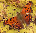butterfly - Polygonia comma