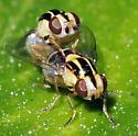 Thaumatomyia sp? - Thaumatomyia glabra - male - female