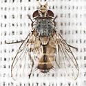 Unknown Fly - Ceromya