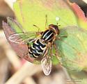 Parhelophilus - Lejops