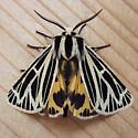 Erebidae: Grammia virguncula - Apantesis virguncula